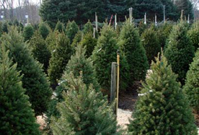 christmas tree farm 1 - Christmas Tree Nursery