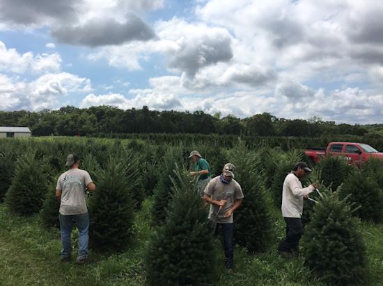 Christmas Tree Trimming